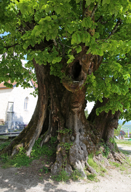 Sully arbre remarquable